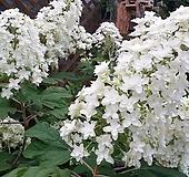 수국. 떡갈잎 수국.겹꽃.월동가능.흰색꽃.고급종.노지월동!!!.화단에 심는용도로 좋습니다.깨끗하니 예쁘네요~ Hydrangea macrophylla