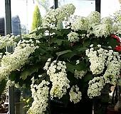 수국. 떡갈잎 수국.겹꽃.월동가능.흰색꽃.고급종.노지월동!!!.화단에 심는용도로 좋습니다.깨끗하니 예쁘네요. Hydrangea macrophylla
