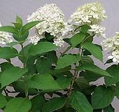 수국.라임수국.월동가능.흰색꽃.고급종.노지월동!!!.화단에 심는용도로 좋습니다.깨끗하니 예쁘네요.~ Hydrangea macrophylla