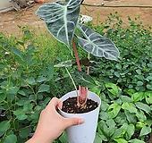 핑크스템알로카시아 (알로카시아) 한정수량판매희귀식물|