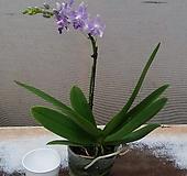 호접란.블루사파이어.기다리고 기달렸던품종.진한보라색로 다시입고.(예쁜진한보라색)(꽃형 귀여운형).작은품종.귀한품종.~|Echeveria Sapphire
