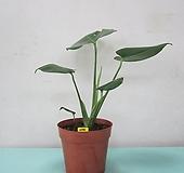 몬스테라C795-동일품배송,공기정화식물 