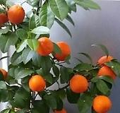 열매 맺은 오렌지레몬나무C801-외목대,동일품배송|