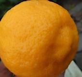 레몬나무-향기가득한식용열매나무-대품|