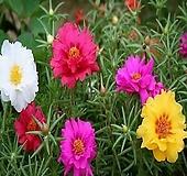 [특가]채송화 20개화분(해피아워종,겹꽃,3치포트)|