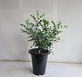 오렌지자스민/공기정화식물/반려식물/온누리 꽃농원|