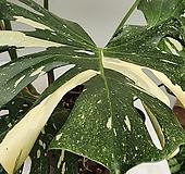 웅장한명품 무늬몬스테라 /특대품/동일품배송/뿌리도 잎도 모두건강합니다 
