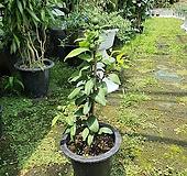 레몬 나무 키60|