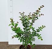 배롱나무(목백일홍) |