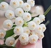 호야.라쿠노사(깨끗한 흰색).꽃색깔예뻐요.향기좋은향.아카사카향.인테리어효과.공기정화식물..잎도예뻐요.~|