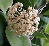 호야 인크라싸타.아이보리브라운가미된 별사탕모양꽃.꽃색깔예뻐요.잎모양도 예뻐요.향기좋은향.인테리어효과.공기정화식물.~|Echeveria J.C.Van Keppel