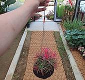 틸란드시아 (대)공중걸이식물  인테리어식물|