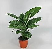 밀키웨이 무늬스파트필름 센세이션 공기정화식물 희귀종  한빛농원|Eecheveria Sensation
