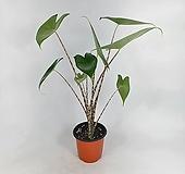 제브리나 알로카시아 공기정화식물 호피무늬줄기 한빛농원|