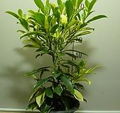 워터자스민9번-물을좋아하는 향기좋은 나무-동일품배송 
