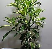워터자스민10번-물을좋아하는 향기좋은 나무-동일품배송 