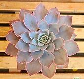 핑키|Echeveria cv Pinky