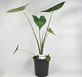 제브리나 알로카시아 대품 공기정화식물 사진상품발송 한빛농원|