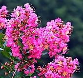 목백일홍(꽃대수형)|