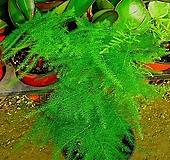 아스파라거스2개-사랑스런 공기정화식물 