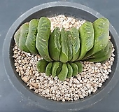 그린옥선-241|Haworthia truncata