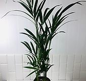 농장직영 아레카야자 중대형 공기정화식물|