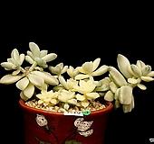 살구미인금-10두(7.10) Graptoveria Titubans