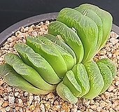 그린옥선 794|Haworthia truncata