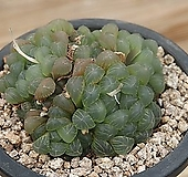 자옵튜샤 207-107|Haworthia var. obtusa(purple)