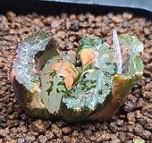 거봉옥선(뿌리 길게 한 가닥 있음)765|Haworthia truncata