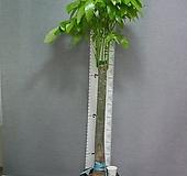 파키라 2번-특특대품-높이160센치-장축-실내식물-동일품배송 