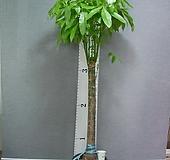 파키라 3번-특특대품-높이160센치-장축-실내식물-동일품배송 