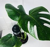 몬스테라 델리치오사 중형 공기정화식물 인테리어식물 천연 가습기 