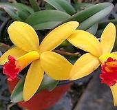 꽃이 잘피는~옐로우 돌(카틀레아) 