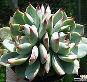 치와와린제0711|Echeveria chihuahuaensis