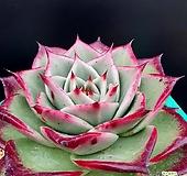 환엽원종에보니특이종|Echeveria Agavoides Ebony