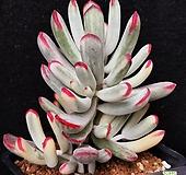 47.원종방울복랑금 (사이즈좋은|Cotyledon orbiculata cv variegated