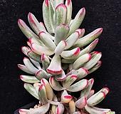 53.원종방울복랑금 (사이즈좋은|Cotyledon orbiculata cv variegated