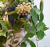 룩타오호야걸이( 수입식물) 꽃이피면 고급스러운 향이나지요|