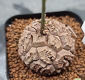 구갑룡|Dioscorea elephantipes