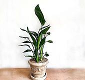 고급 인테리어 나무 여인초 수입토분세트(화분받침 포함)★한정수량☆|