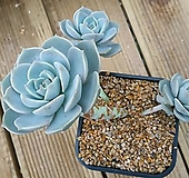 백모단-묵둥이 자연군생 Graptoveria Titubans