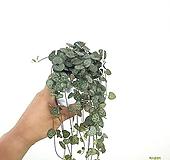 러브체인 행잉식물 에어플랜트 공기정화식물 한빛농원|