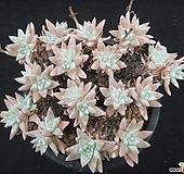 화이트그리니 0714 Dudleya White greenii