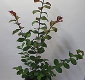 배롱나무/백일홍|