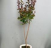 백일홍나무/ 동일품배송/ 높이 150 너비 40|