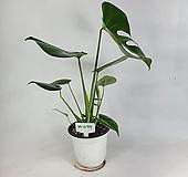 몬스테라 공기정화식물 사진상품발송 M-0715 한빛농원 