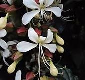 꽃이너무예쁜 나비시다래(수양쟈스민) 