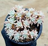 화이트그리니(자연군생) 63-73 Dudleya White greenii