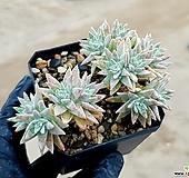 화이트그리니 63-120 Dudleya White greenii